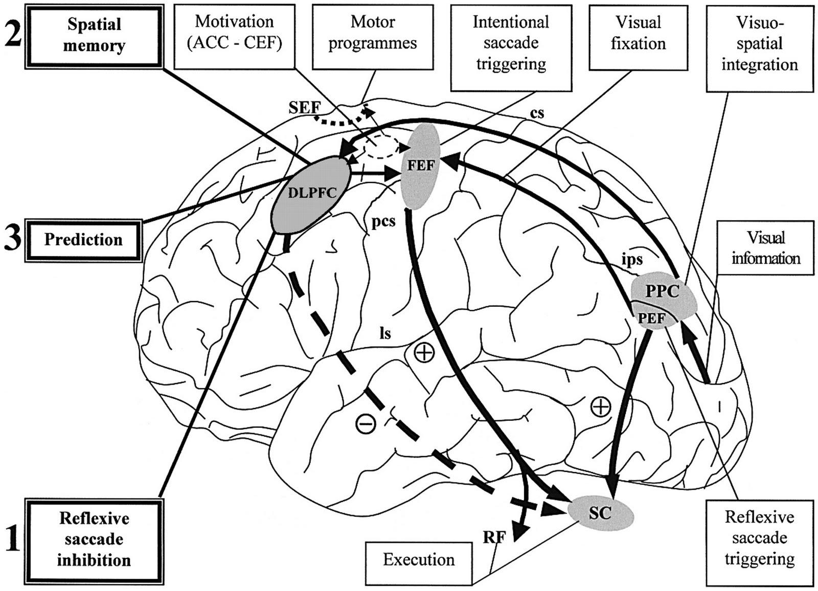 Al Fin Can Realtime Fmri Neurofeedback Help Us Learn Wisdom