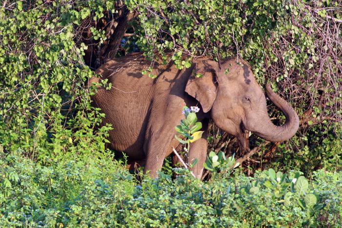Weiblicher Elefant im Udawalawe Nationalpark