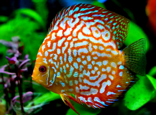 Daftar jenis dan harga ikan discus lengkap