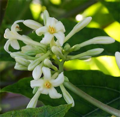 Fiore Maschile Papaya