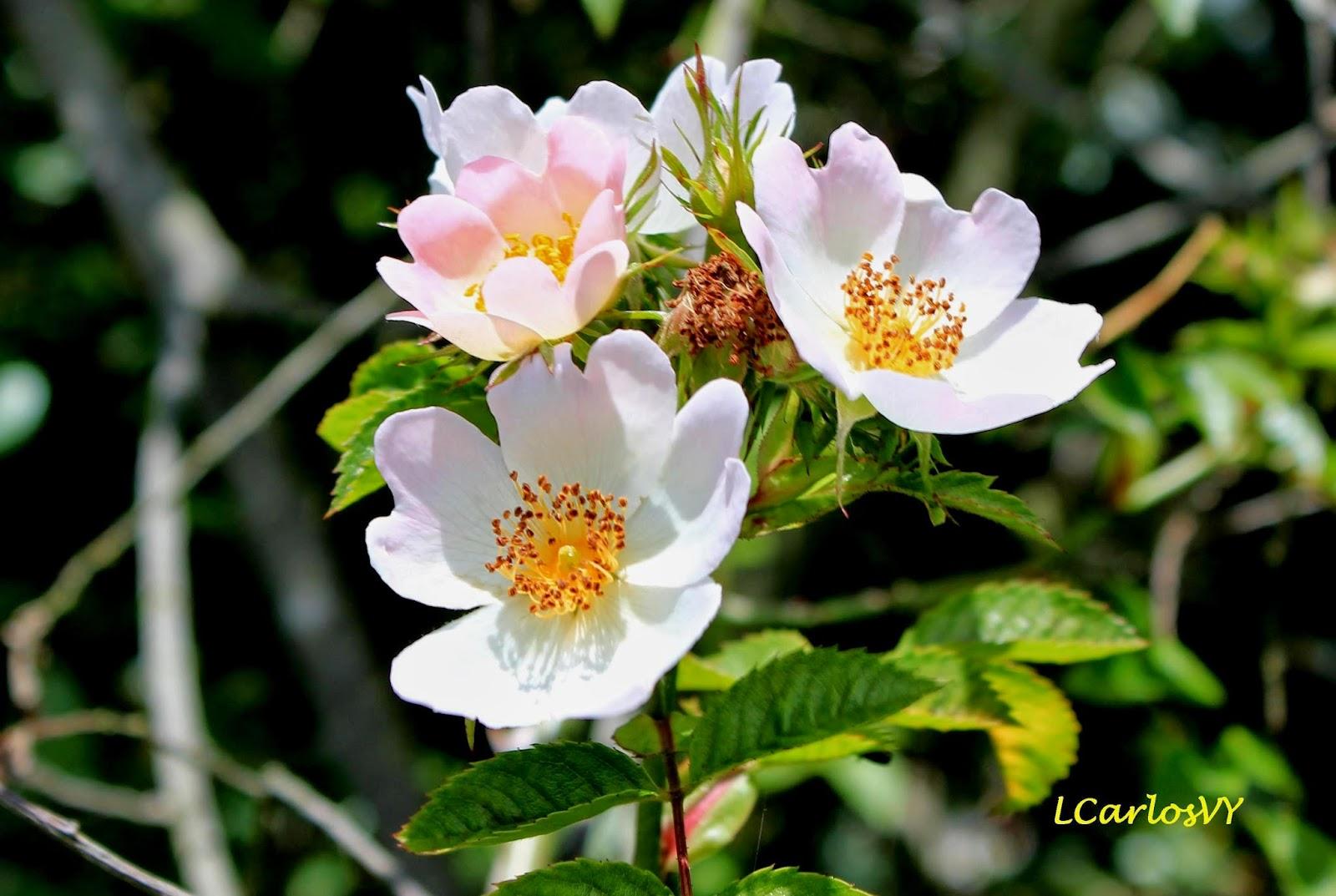 Plantas silvestres de asturias rosal silvestre rosa canina for Pianta rosa