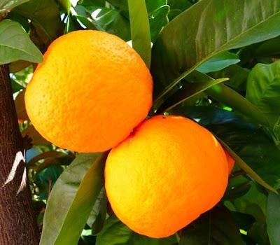 jeruk orange