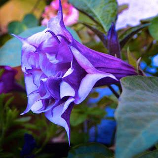 Violet Trumpet Flower