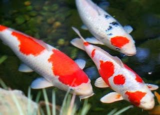 Cara Budidaya Ikan Koi di kolam tanah,Cara Budidaya Ikan Koi di kolam terpal,Cara Budidaya Ikan Koi di aquarium,Cara Budidaya Ikan Koi bagi pemula,Cara Budidaya Ikan Koi fdf,,