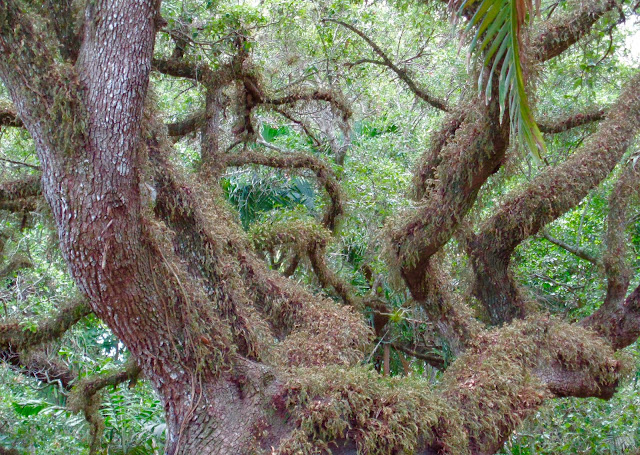 Oak Tree at Flamingo Gardens in Davie, FL