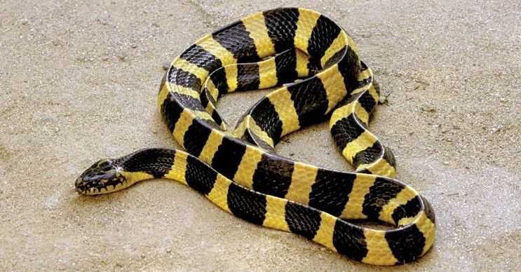 Pama yılanı, Güneydoğu Asya ve Hint Yarımadası'nda yaşayan bir türdür.