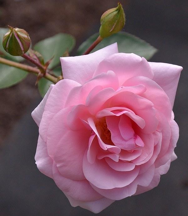 Diadem сорт розы фото