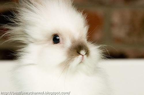Small fluffy bunny.