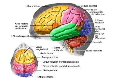 Ilustración del cerebro del cuerpo humano indicando sus partes principales