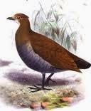 Talégalo filipino: Megapodius cumingii