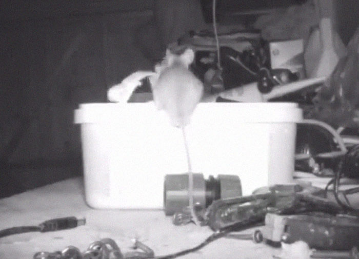 72-Year-Old Man Caught A Mouse Cleaning His Shed On A Trail Camera