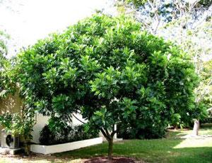 Pohon kiara payung tanaman peneduh