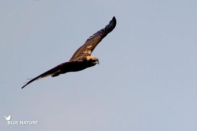Aguilucho lagunero occidental (Circus aeruginosus) sobrevolando la reserva. Blue Nature