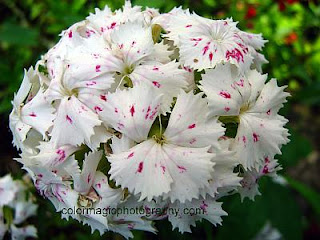 Sweet William -  closeup photo of white Dianthus barbatus