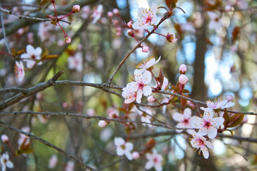 Flores de los almendros