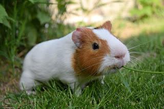 Klasifikasi dan Morfologi Marmut/Guinea Pig