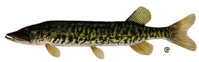 Pickerel Fish
