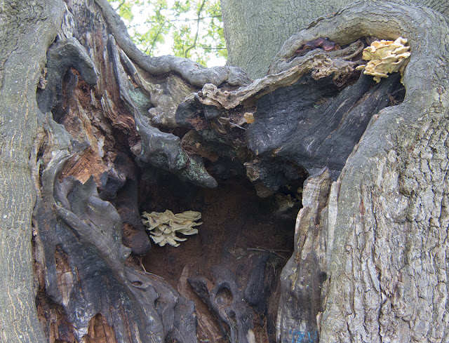 Chicken of the Woods, Laetiporus sulphureus, on a veteran oak in The Knoll Hayes.  25 September 2012.