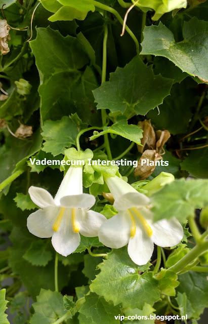 lofos sadzonki, lofos kwiaty, rośliny na balkon,