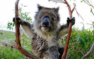Koala needs a bath