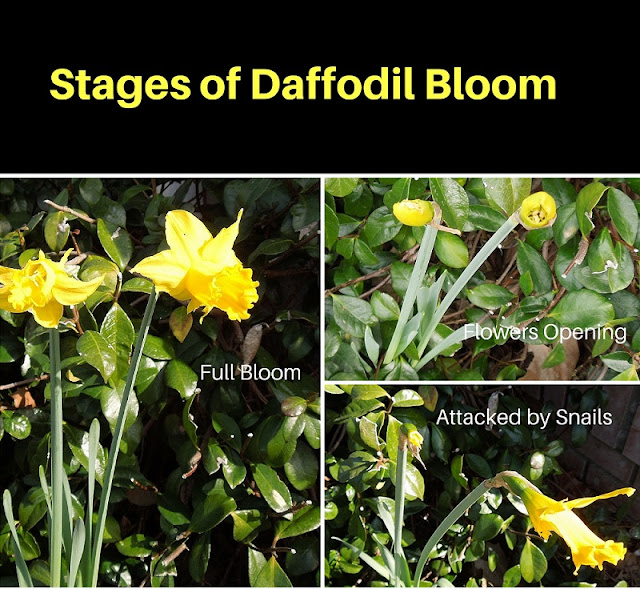 Daffodils are Back in Bloom