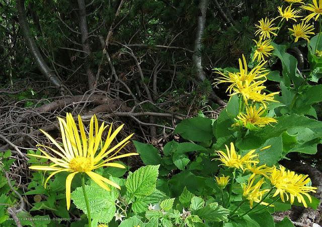 Omieg górski (Doronicum austriacum Jacq.)