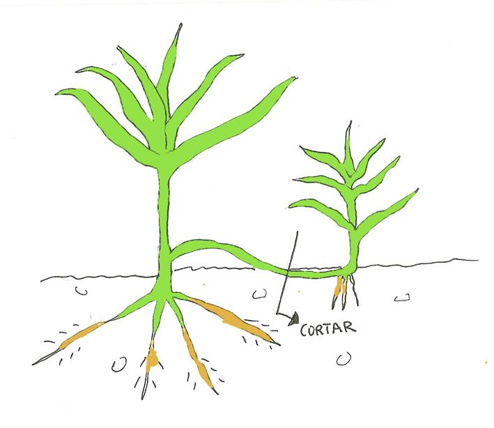 Madreselva planta reproduccion asexual de las plantas