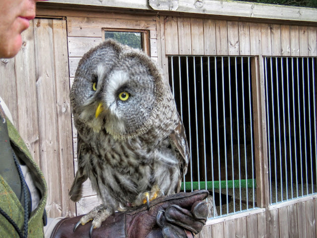Gandalf the Great Grey Owl at Mount Falcon estate in County Mayo, Ireland