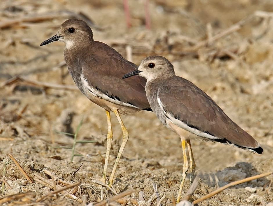 White tailed lapwing