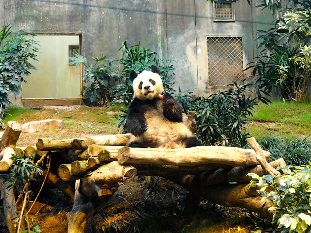 Giant panda eating food in the Sichuan Treasures exhibit in Ocean Park, Hong Kong