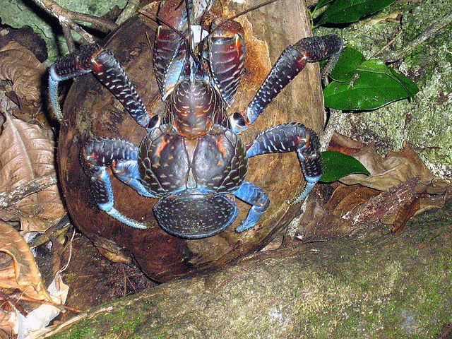 giant coconut crab facts - photo #30