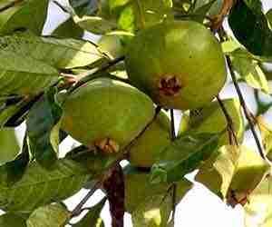 Benefícios e propriedades do Cambuci