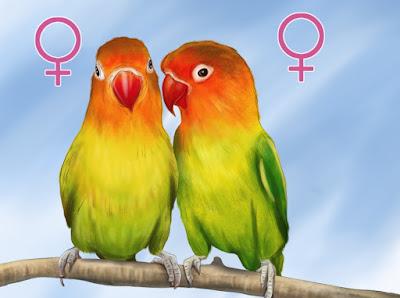Cara Mengawinkan Lovebird Jantan dan Betina
