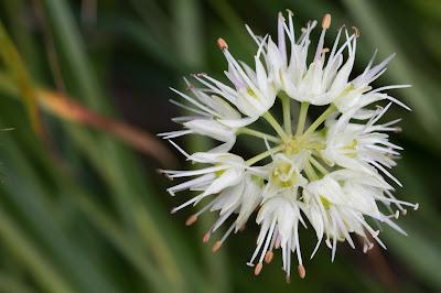 Allium ochroleucum – (Aglio giallognolo)