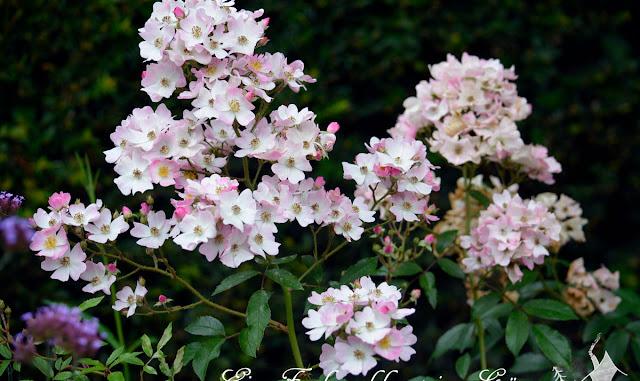 Rosen, die Dauerblüher sind