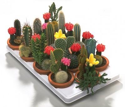 La p gina m s grande de cactus y crasas en el mundo todo for Informacion sobre el cactus