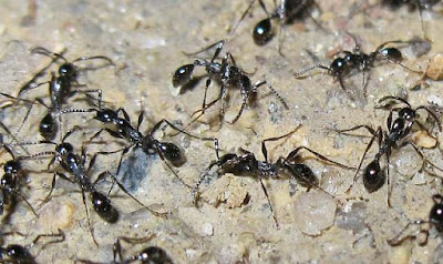 Aenictus ant workers