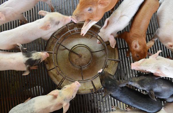 suinos-granja-racao-nutricao-comedouro-piglets-farm-swine