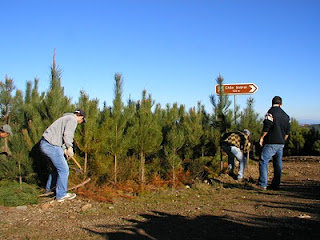 thinning pine