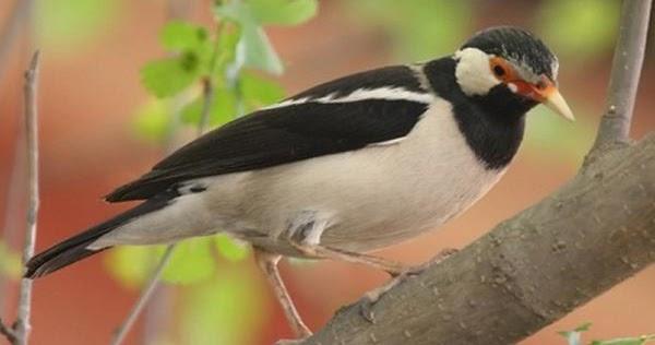 Cara Tepat Memaster Burung Jalak Suren Trotolan