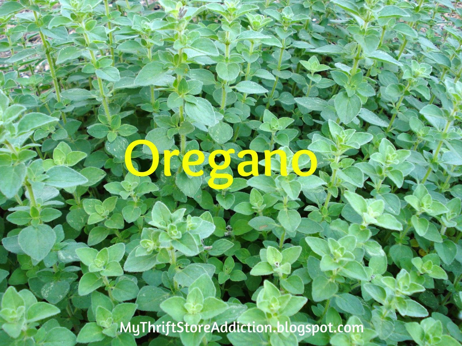 Health benefits of herbs oregano