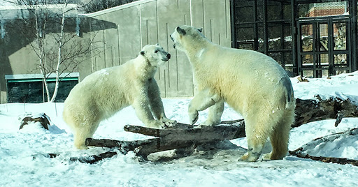 Polar Bears at Vilas Zoo