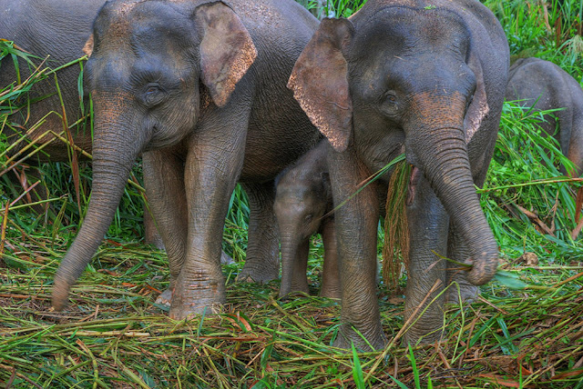 Pygmy Elephants along the Kinabatangan River