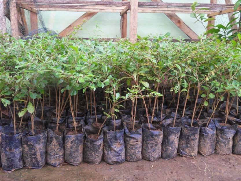 jual bibit ketapang kencana | tanaman pelindung