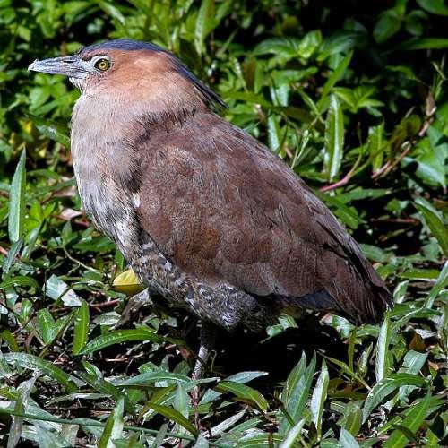 Indian birds - Malayan night heron - Image of Gorsachius melanolophus