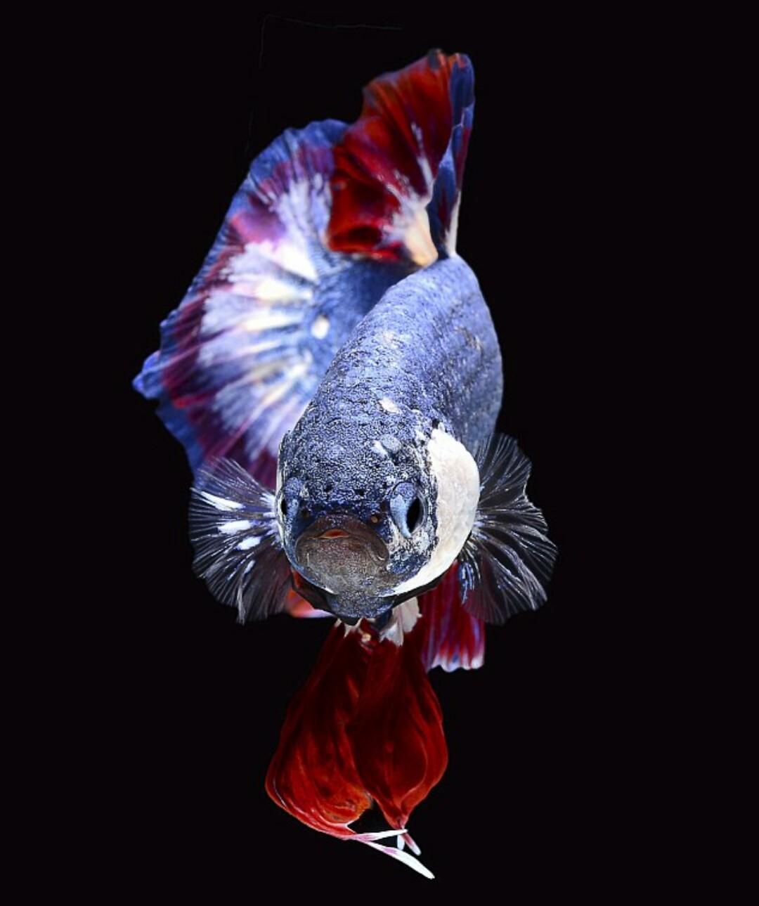 Ikan Cupang Dicampur