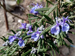 rosemary flower photo