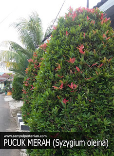 2 Cara menanam Pucuk Merah (Syzygium oleana)