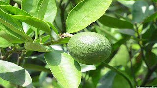 persian lime fruit images wallpaper