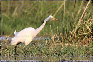 https://bioclicetphotos.blogspot.fr/search/label/Grande%20Aigrette%20-%20Ardea%20alba%20%28ETP%29
